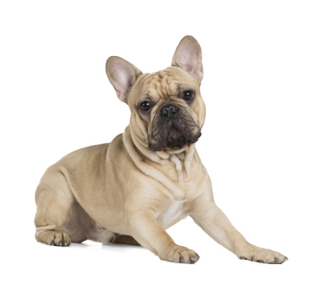 French Bulldog Allen-Plano-Dallas Dog Training