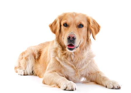 Dallas-Plano-Allen Golden Retriever Dog Training
