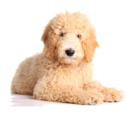 Golden Doogle Dog Training Services in Dallas-Plano-Allen